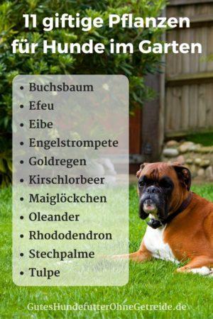 ist kirschlorbeer giftig f r hunde gutes hundefutter ohne getreide. Black Bedroom Furniture Sets. Home Design Ideas