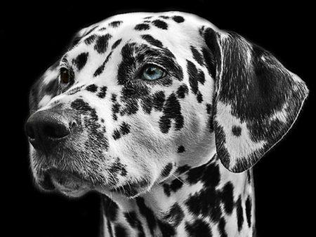 Pro Jahr werden 820 Dalmatiner-Welpen in Deutschland gemeldet