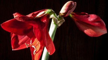 Amaryllis ist giftige Zimmerpflanze für Hunde
