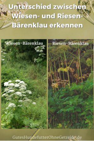 Unterschied zwischen Wiesen-Bärenklau und Riesen-Bärenklau erkennen