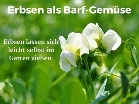 Als Barf-Gemüse lassen sich Erbsen sehr gut selbst im Garten anpflanzen