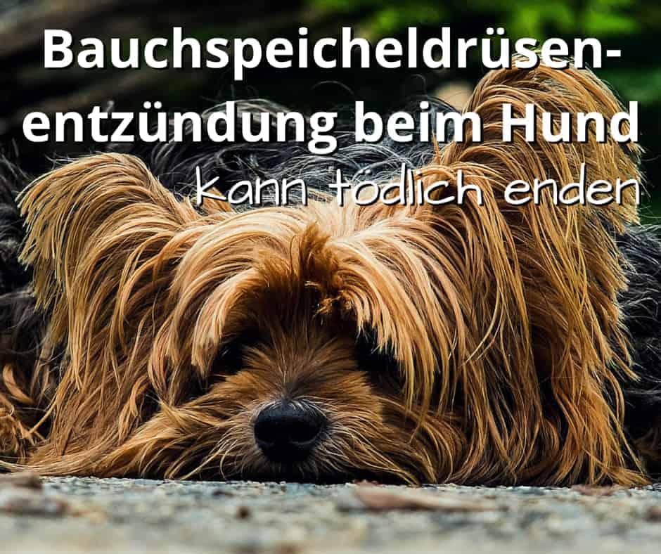 Bauchspeicheldrüsenentzündung beim Hund kann tödlich enden