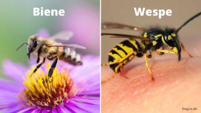 Bienen und Wespen einfach unterscheiden