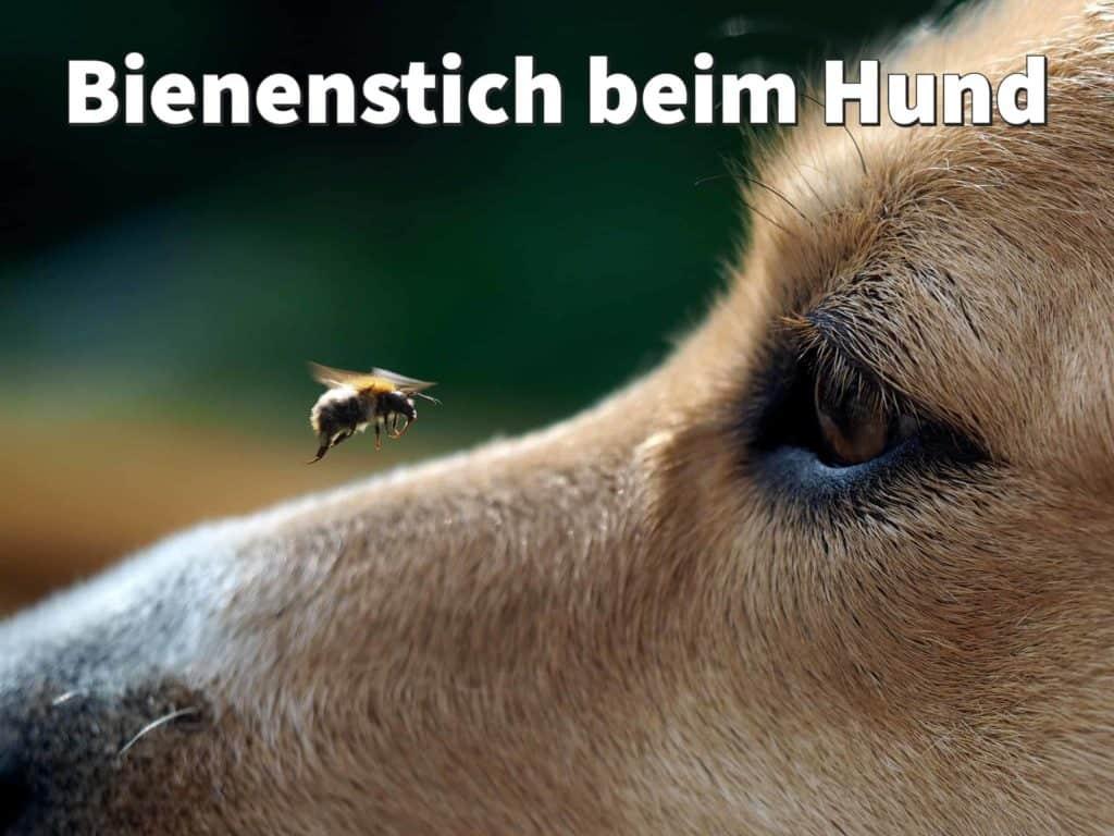 Bienenstich beim Hund: Erste-Hilfe-Tipps für Maul und Pfote