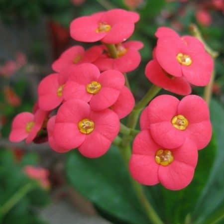 Christusdorn, Euphorbia milii