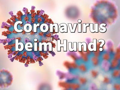 Coronavirus: Fragen zur Gefahr für Hunde