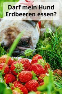 Darf mein Hund Erdbeeren fressen?