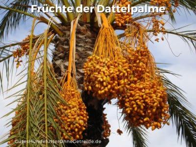 Datteln als Früchte der Dattelpalme