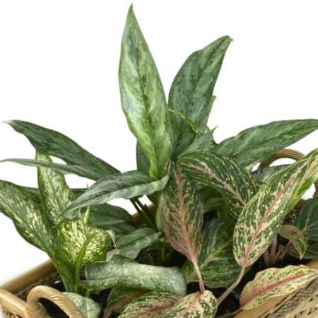 Dieffenbachie, für Hunde besonders giftige Zimmerpflanze