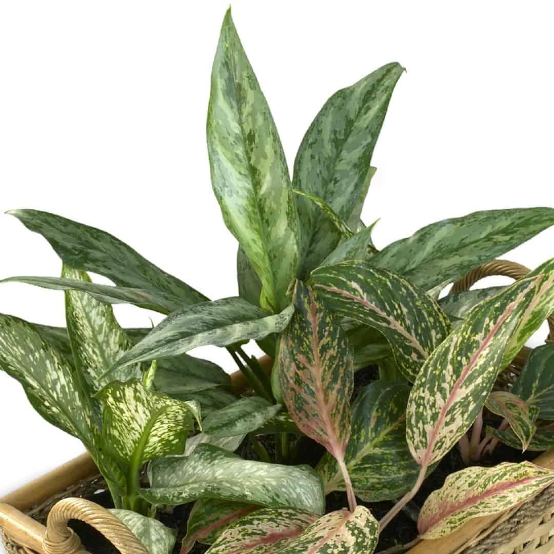 welche zimmerpflanzen sind giftig f r hunde 12 giftpflanzen gutes hundefutter ohne getreide. Black Bedroom Furniture Sets. Home Design Ideas