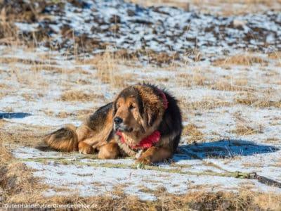 Tibet Mastiff (Do Khyi), ein Herdenschutzhund aus Tibet