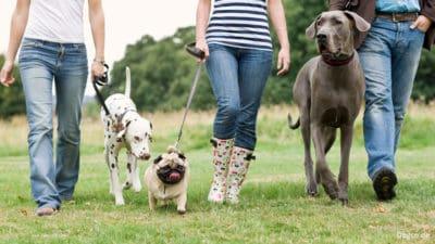 Dogwalker mit unterschiedlichen Hunderassen