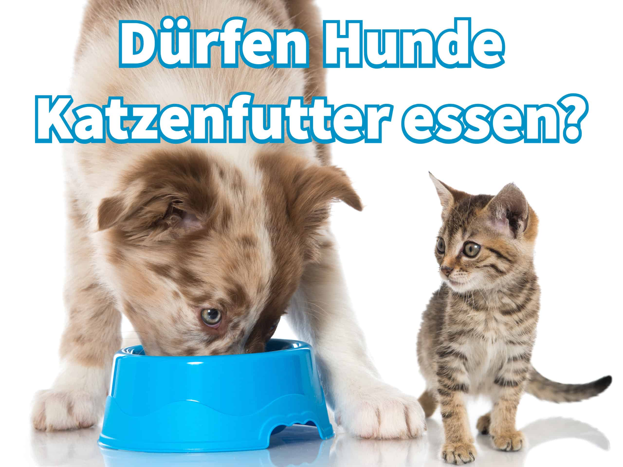 Dürfen Hunde Katzenfutter Essen Guteshundefutterohnegetreidede