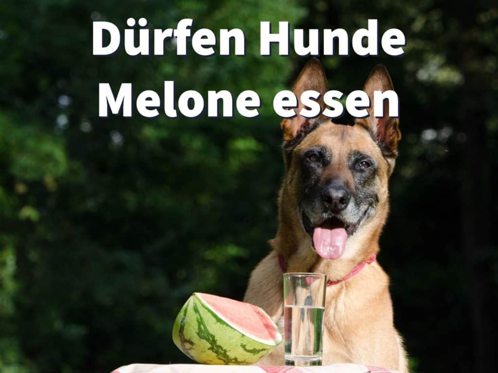 Dürfen Hunde Melone essen, auch Honigmelone?