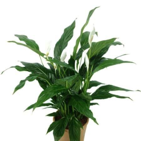 Das Einblatt ist eine sehr beliebte Zimmerpflanze