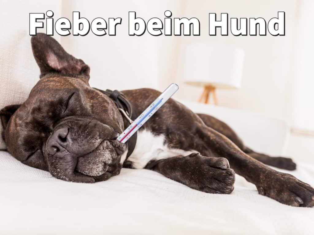 Fieber beim Hund: Erkennen, richtig messen und schnell senken