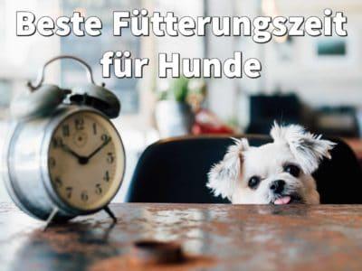 Beste Fütterungszeit für Hunde: 7 Tipps zur richtigen Zeit