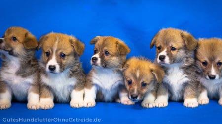 Diese 6 Hundewelpen wachsen als Wurfgeschister auf