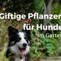 Giftige Pflanzen für Hunde im Garten