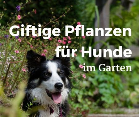 11 giftige pflanzen f r hunde im garten gutes. Black Bedroom Furniture Sets. Home Design Ideas