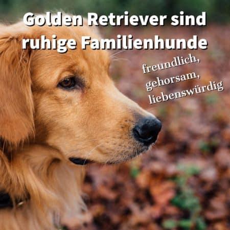 Golden Retriever sind ruhige Familienhunde
