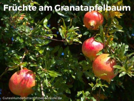 Granatapfelbäume werden bis zu 5 Metern hoch