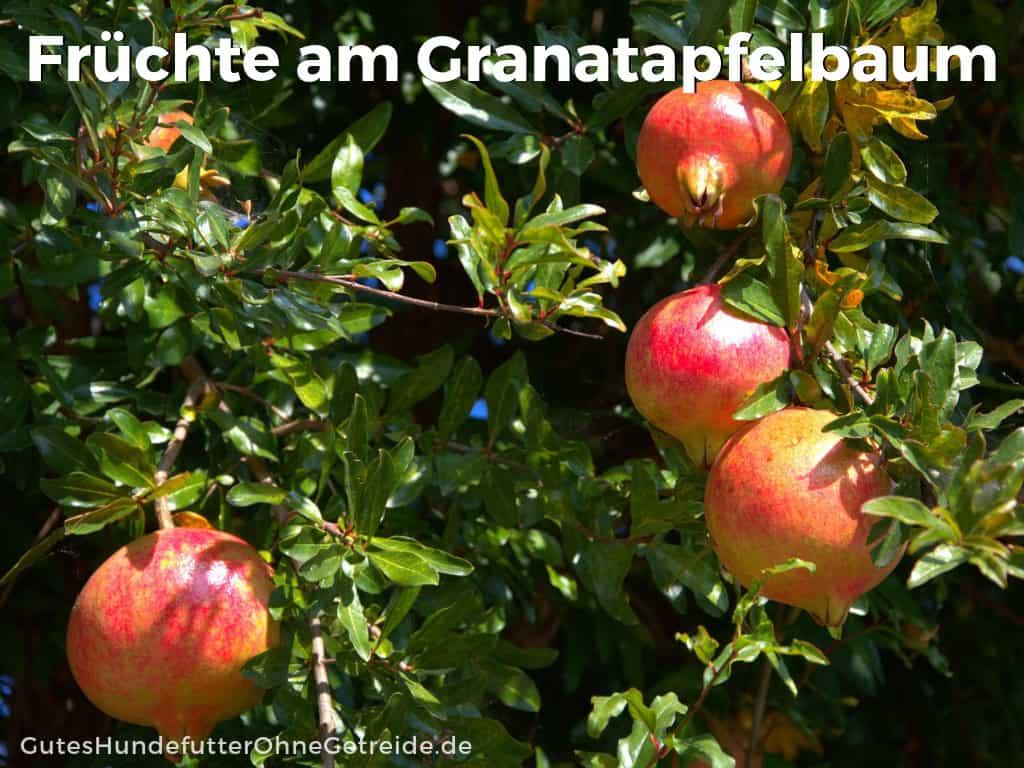granatapfel hund