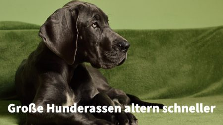 Große Hunderassen wie Doggen und Mastiffs altern schneller