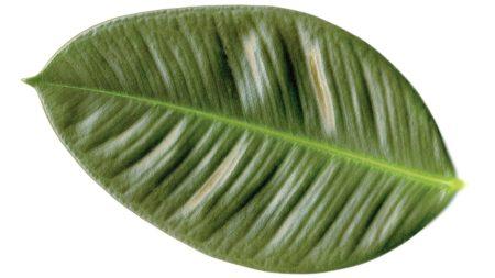 Gummibaum als giftige Zimmerpflanze