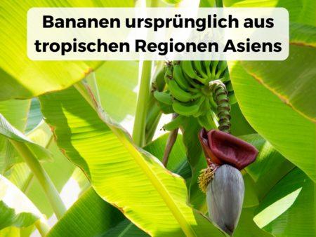 Die Bananenpflanze stammt ursprünglich aus tropischen Gebieten Asiens