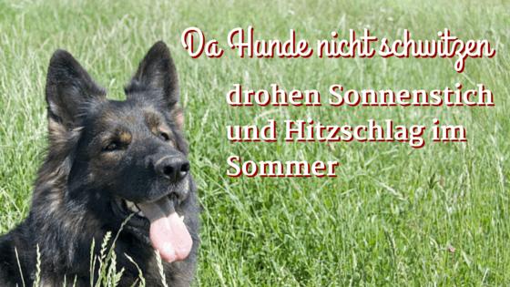 Da Hunde fast nicht schwitzen, drohen Sonnenstich und Hitzschlag im Sommer