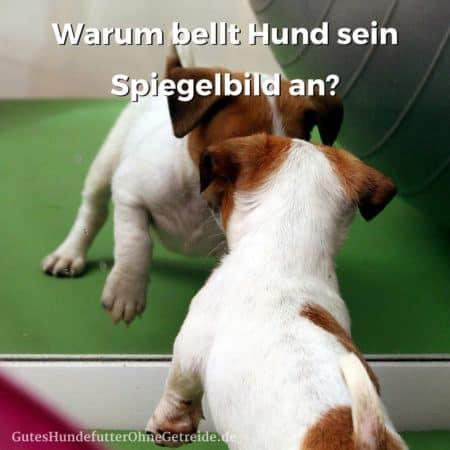 Warum bellen Hunde ihr Spiegelbild an?