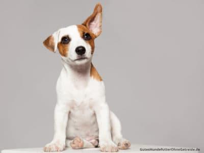 Hund dreht Ohren, um Geräusche genau zu orten