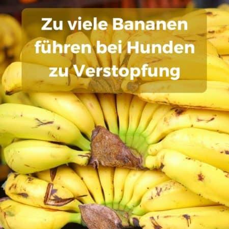 Zu viele Bananen führen zu Verstopfung, auch bei Hunden