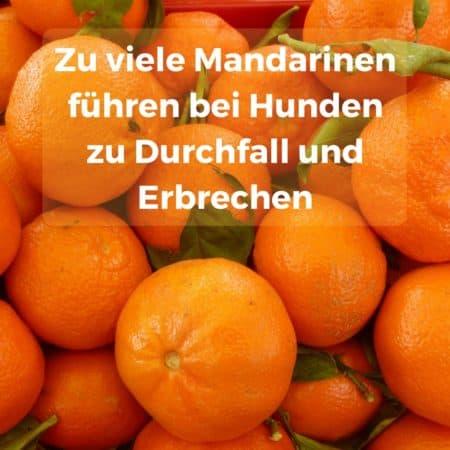 Hunde sollten nicht zu viele Mandarinen fressen, kann zu Erbrechen und Durchfall führen
