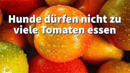 Hunde dürfen nicht zu viele Tomaten essen