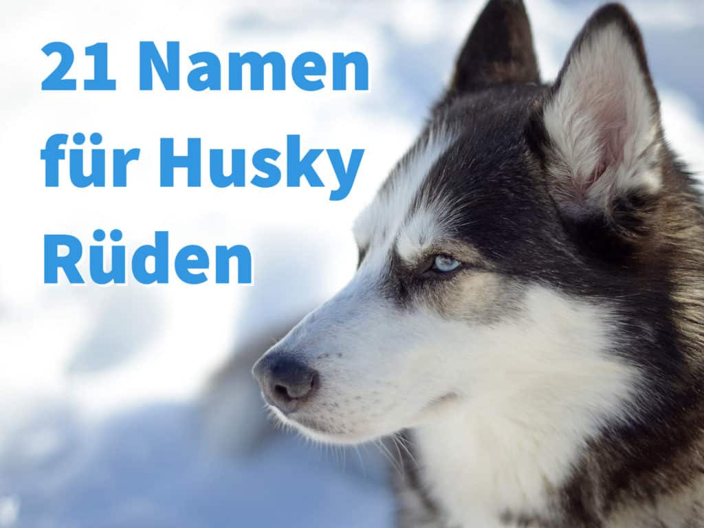 21 nordische Namen für Husky Rüden