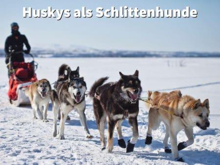 Huskys sind als Schlittenhunde bekannt
