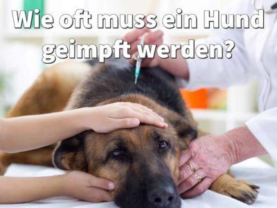 Wie oft muss ein Hund geimpft werden? Impfplan ab dem Welpenalter