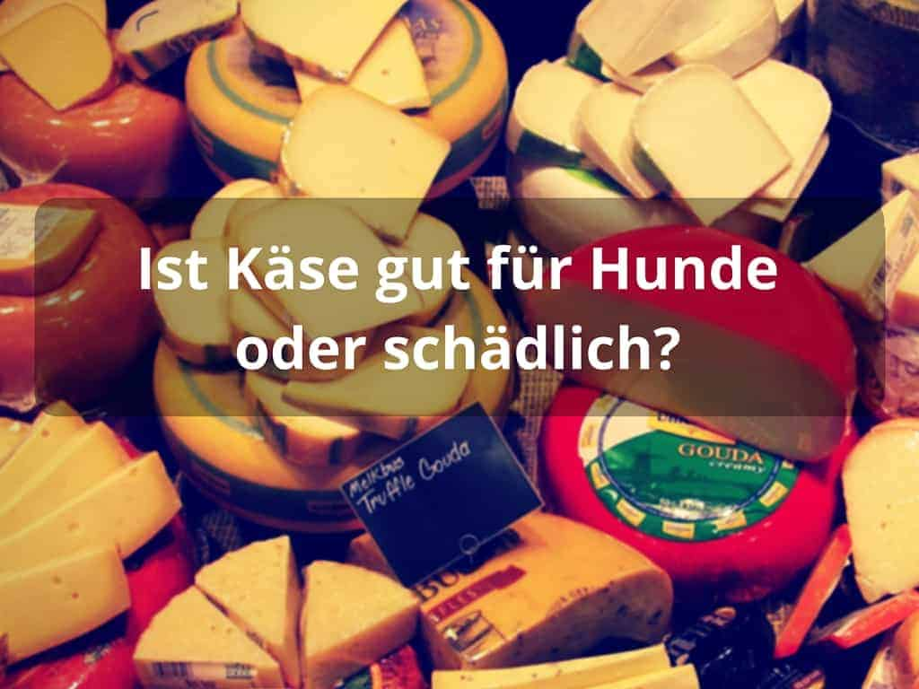 Ist Käse gut für Hunde oder schädlich?