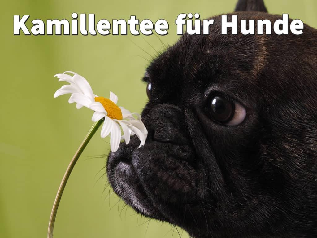 Kamillentee für Hunde: Ist Tee als Hausmittel gesund bei Entzündungen?