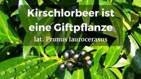 Kirschlorbeer ist als Giftpflanze für Hunde giftig