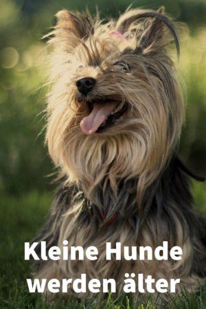 Kleine Hunde wie Terrier und Pudel werden älter