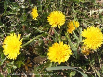Löwenzahn entwickelt kurze Blütenstengel