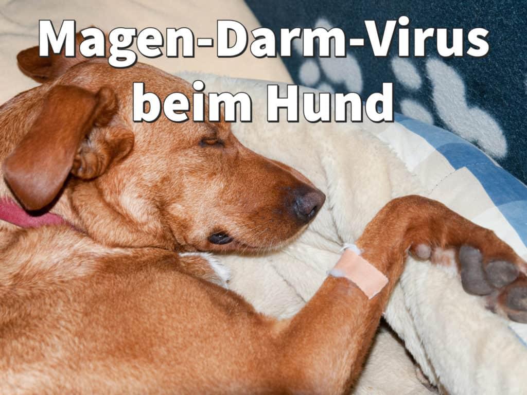 Magen-Darm-Virus beim Hund: Symptome und Infekte behandeln
