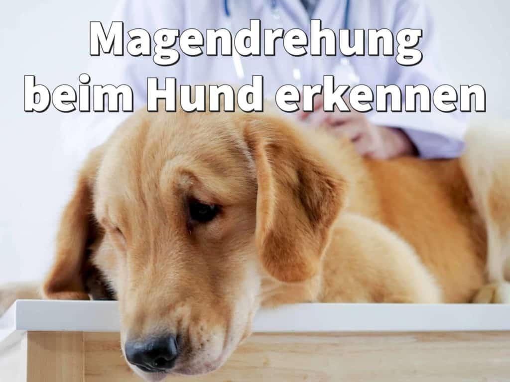 Magendrehung beim Hund erkennen: Symptome, Anzeichen und Ursache