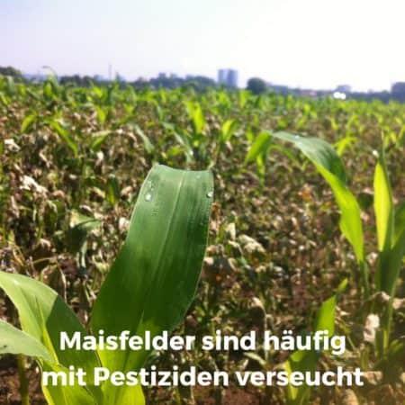 Maisfelder sind häufig mit Pestiziden belastet