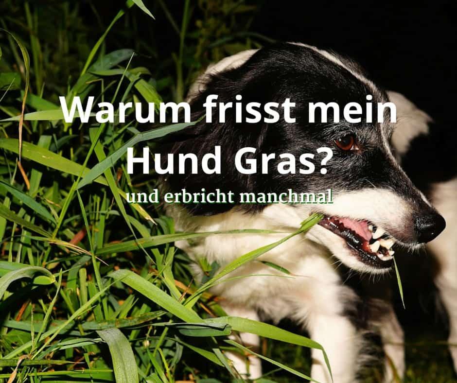 Warum frisst mein Hund Gras und erbricht manchmal?