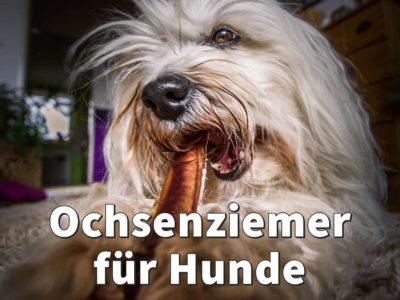 Ochsenziemer für Hunde: Gesunder Kauspaß, auch für Welpen?