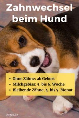 Zahnwechsel bei Hunden